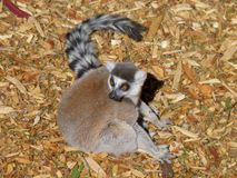 Ring tailed lemur looking alert. Sitting on the ground Royalty Free Stock Image