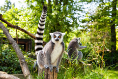 Ring-tailed lemur looking at the camera Royalty Free Stock Photo
