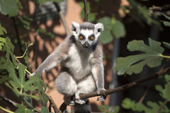 Ring-tailed lemur looking at the camera. Ring-tailed lemur in monkey zoo apenheul in Apeldoorn stock image