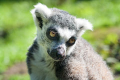 Ring-tailed lemur. Looking cute, close up, head shot Royalty Free Stock Photography