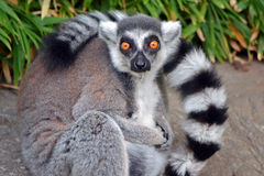 Ring-Tailed Lemur. Looking directly at camera with hands folded Stock Images