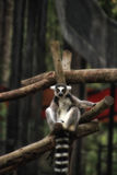 Ring Tailed Lemur Looking an Ihnen Lizenzfreies Stockfoto