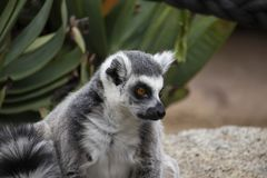 Ring-tailed lemur looking to it`s side stock images