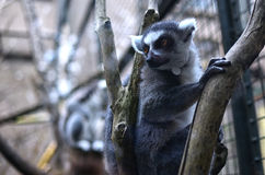 Ring-tailed Lemur. A Ring-tailed Lemur looking up Stock Images