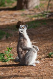 Ring-tailed lemur looks up Stock Image