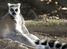 Ring tailed lemur madagascar black white Royalty Free Stock Photo