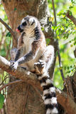 Ring tailed Lemur Madagascar Stock Photo