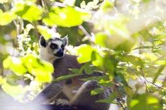 Ring-tailed Lemur madagaskar Lizenzfreie Stockfotografie