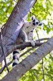 Ring-tailed Lemur madagaskar Stockfotografie