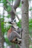 Ring-tailed Lemur Maki catta Lizenzfreies Stockbild