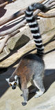Ring Tailed Lemur. A ring-tailed lemur in a man-made environment with tail extended and bright yellow eyes Royalty Free Stock Photo