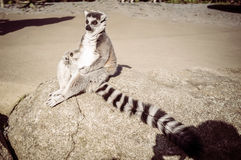 Ring tailed lemur meditating. Wisdom and contemplation concept wi Stock Photos