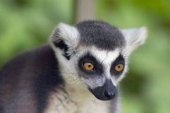 Ring-tailed lemur monkey stock photo