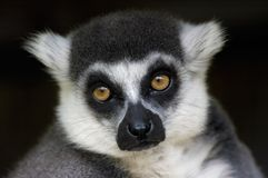 Ring-tailed lemur monkey Royalty Free Stock Images