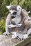 Ring-tailed lemur monkey. Stock Images