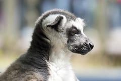 Ring-tailed lemur monkey. Royalty Free Stock Photos