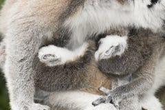 Ring-tailed lemur monkey. Royalty Free Stock Image