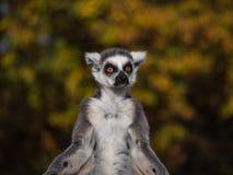Ring-tailed Lemur Monkey Looking Around Stock Photos