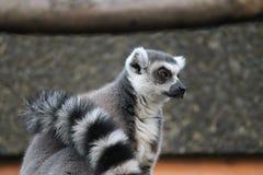 Ring-tailed Lemur monkey with orange eyes in a zoo. Ring-tailed Lemur monkey with orange eyes in zoo Stock Photos
