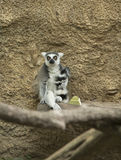 Ring tailed lemur. Monkey sitting against wall in Houston, Texas zoo Royalty Free Stock Photo