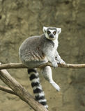 Ring tailed lemur in zoo. Ring tailed lemur monkey sitting on tree branch in Houston, Texas zoo Stock Photos