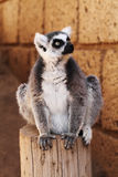 Ring-tailed lemur monkey Stock Images