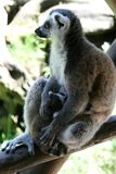 Ring-tailed Lemur Mother And Drinking Child Royalty Free Stock Photos