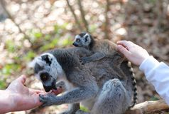 Mother of a ring-tailed lemur with a baby on her back is sitting on a branch and licking a man`s hand. Baby strokes baby lemur, wh. Ring-tailed lemur mother with stock photo