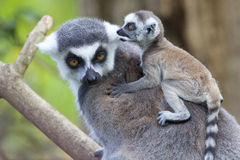 Ring Tailed Lemur Mother with Baby Stock Images