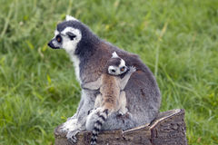 Ring Tailed Lemur Mother with Baby Stock Photos