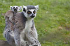 Ring Tailed Lemur Mother with Baby Royalty Free Stock Images