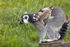 Ring Tailed Lemur Mother with Baby Stock Image