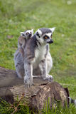 Ring Tailed Lemur Mother with Baby Stock Photo