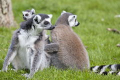 Ring Tailed Lemur Mother with Baby Royalty Free Stock Photos