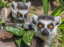 Ring-tailed lemur mother with child Royalty Free Stock Photography