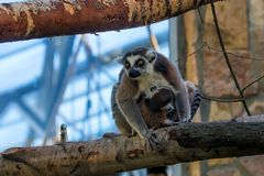 Ring-tailed Lemur oder Lemur catta Stockbild