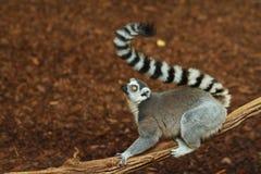 Ring tailed Lemur. Lemur in Ontario zoo Royalty Free Stock Image