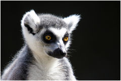 Ring Tailed Lemur pensativo fotos de archivo