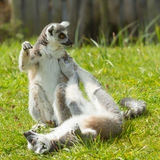 Ring-tailed lemur playing Royalty Free Stock Image