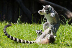 Ring-tailed lemur playing Royalty Free Stock Images