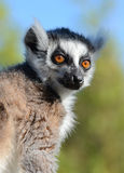 Ring-tailed Lemur Portrait Royalty Free Stock Photo