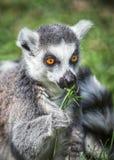 Ring tailed Lemur Stock Image
