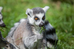 Ring tailed Lemur Stock Images
