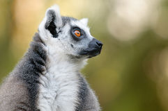 Ring-tailed lemur portrait with bokeh background. Stock Photo