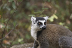 Ring tailed lemur portrait in the jungle in Madagascar Royalty Free Stock Images