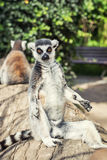 Ring-tailed lemur posing in outdoor scene Royalty Free Stock Photo