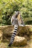 Ring Tailed Lemur que senta-se em um ramo de árvore fotografia de stock royalty free