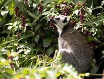 Ring Tailed Lemur que senta-se em um ramo de árvore fotografia de stock