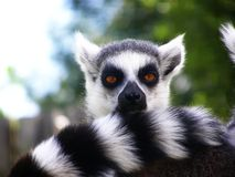 Ring tailed lemur. Ring railed lemur at the zoo Royalty Free Stock Photography