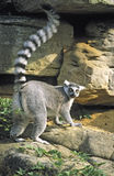Ring-tailed Lemur raising tail, tongue out Royalty Free Stock Photo